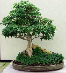 Como cuidar de bonsai not cias cursos a dist ncia cpt - Como cuidar bonsais ...