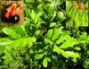 Aprenda Fácil Editora: Plantas Tóxicas podem causar prejuízos à Pecuária