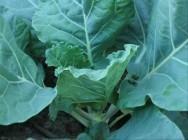 A couve é uma hortaliça preferencialmente propagada por meio de estacas da própria planta.