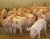 Suinocultura � a principal atividade a ser considerada no fornecimento de prote�na animal