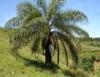 Coco maca�ba � mercado em expans�o na produ��o de biodiesel e preserva��o ambiental