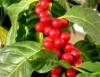 Aprenda Fácil Editora: Os processos de produção do Café