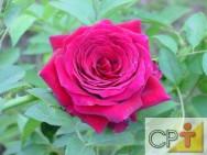 Planejamento de jardins: roseiras