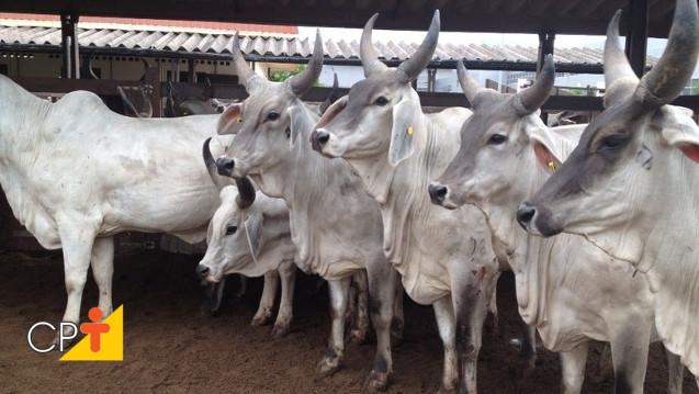 Guzerá leiteito para produção de leite