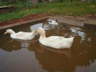 Criação de marrecos - diferenças entre patos e marrecos