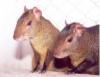 Cutia é animal de criação vantajosa e carne rica em nutrientes