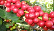 Técnica de produção de café transgênico é patenteada pela Embrapa