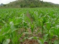 Como produzir milho em pequenas propriedades