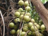 Macaúba gera renda para agricultores em MG
