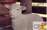Produção de cordeiros: manejo do recém-nascido