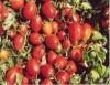 Hidroponia no cultivo de tomate supera em três vezes o plantio no campo