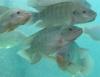 Ração para peixes com fontes proteicas vegetais é opção econômica