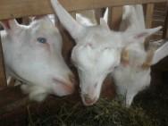 Saanen, raça de cabra leiteira, com grande lucratividade