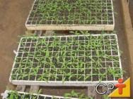 Cultivo de Tomate em Estufa: mudas