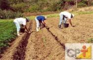 Cultivo de gengibre orgânico: variedades