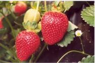 Cultivo de morango org�nico pode ser mais barato
