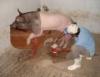 Inseminação artificial é biotecnologia também usada nos suínos