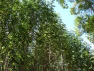 O eucalipto e suas utilidades