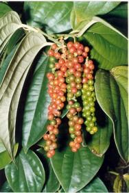 Projeto pretende aumentar a produtividade da pimenta-do-reino