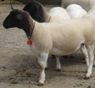 Dorper, um excelente ovino produtor de carne