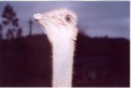 Manejo do avestruz