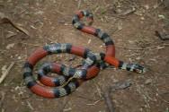 Serpentes venenosas - alguns cuidados essenciais garantem sucesso na criação