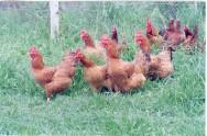 É muito importante que o avicultor tome cuidado com algumas doenças comuns à galinha e ao frango caipiras criados no chão
