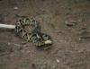 Manejo de serpentes deve ser feito com todo o cuidado