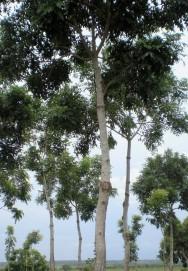 Mogno africano - esp�cie importada ganha espa�o entre os agricultores