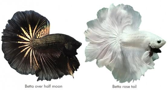 Betta over halfmoon e Betta rose tail