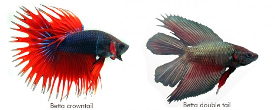 Betta crowntail e Betta double tail