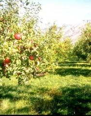Pomar - como combater as principais doenças e pragas sem o uso de agrotóxicos