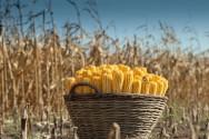 Plantio de milho - saiba qual é a época adequada para se plantar milho em todas as regiões do país