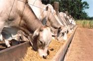 Gado de corte - tipos e características de animais para confinamento