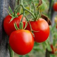 Cultivo de tomate em estufa