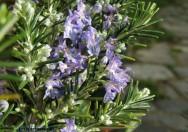 Medicina natural - Alecrim (Rosmarinus officinalis)