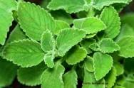 Medicina natural - Boldo verdadeiro (Vernonia condensata)