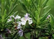 Horta - como plantar Alecrim (Rosmarinus officinalis)