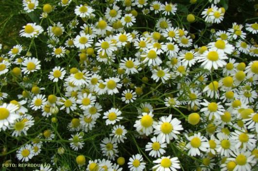 horta e jardim juntos: um chá calmante e digestivo, suaviza a pele e embeleza os cabelos