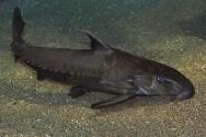 Peixes de água doce do Brasil - Abotoado (Pterodoras granulosus)