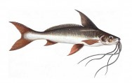 Peixes de água doce do Brasil - Barbado (Pinirampus pinirampu)