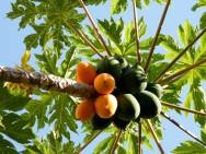 Plantação de árvores frutíferas - a formação do pomar