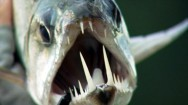 Peixes de água doce do Brasil - Cachorra (Hydrolycus scomberoides)