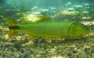 Peixe de água doce Dourado.