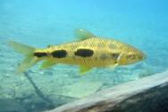 Peixe de água doce Piau.