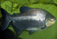 Peixe de água doce Pirapitinga.