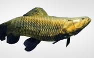 Peixes de água doce do Brasil - Trairão (Hoplias lacerdae)