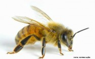 Primeiros socorros - picada de abelha ou vespa