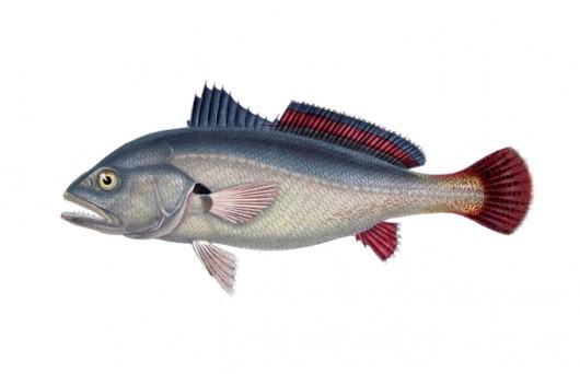 Peixes De 225 Gua Doce Do Brasil Corvina Plagioscion