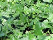 Horta - como plantar Espinafre (Spinacia oleracea)